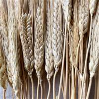 Triticum Wheat Natural