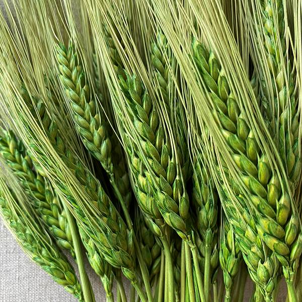Triticum Wheat Grass Green