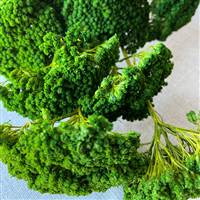 Yarrow Spring Green