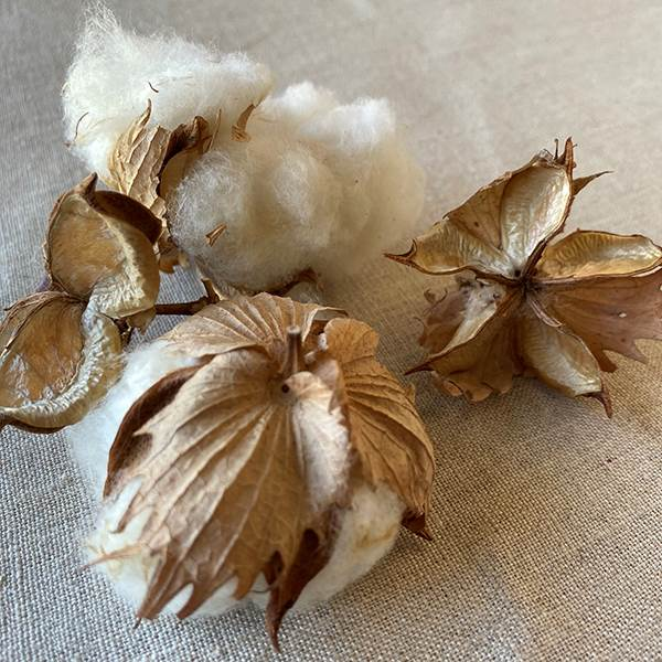 Cotton Bolls Natural