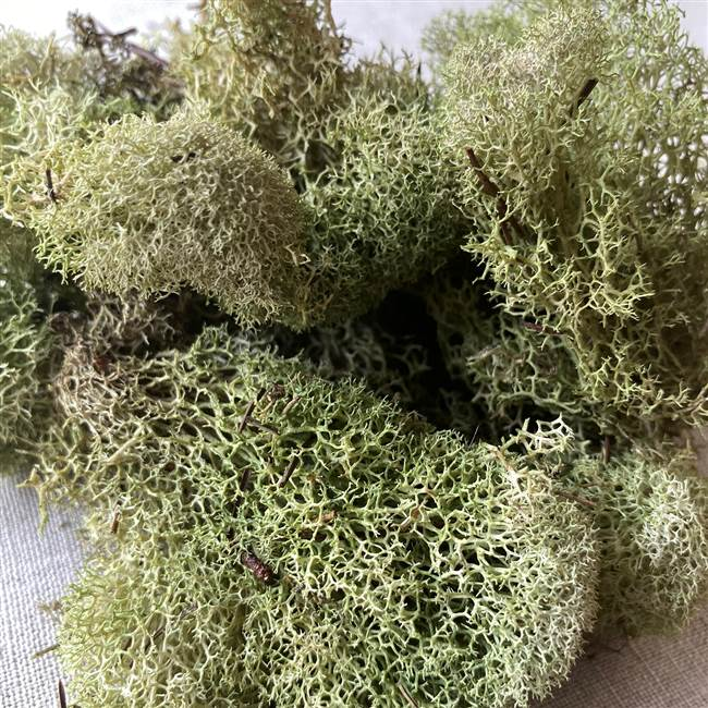 Reindeer Moss Light Green