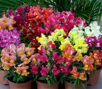 Antirrhinum Snappy Mix