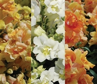 Antirrhinum Twinny Honey Mix