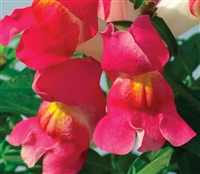 Antirrhinum Snappy Rose