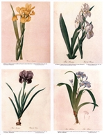 Notecards, Rare Book Print Set - Iris