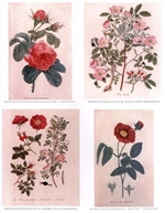 Notecards, Rare Book Print Set - Roses
