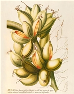 Rare Book Print, Banana, wild plantain clusters on one stem (Size: 13 x 19)