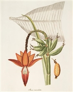 Rare Book Print, Banana, inflorescence and leaf. (Size: 13 x 19)