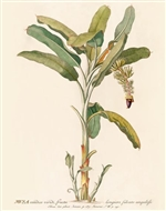 Rare Book Print, Banana plant with fruit cluster (Size: 13 x 19)