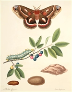 Rare Book Print, Cecropia Moth and Fire Cherry (Hyalophora cecropia and Prunus pensylvanica L.f.) (Size 8 x 10)