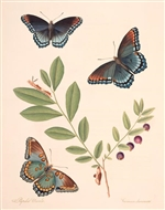 Rare Book Print, Butterfly and Deerberry (Papilio ursula and Vaccinium stamineum L.) (Size: 13 x 19)
