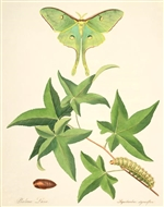 Rare Book Print, Luna Moth and Sweet Gum (Actias luna and Liquidambar styraciflua L.) (8 X 10)