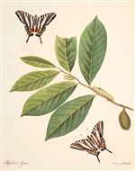 Rare Book Print, Zebra Swallowtail and Pawpaw (Eurytides marcellus Cramer and Asimina species.) (Size: 13 x 19)