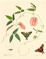 Rare Book Print, Swallowtail and the legume Pidgeonwings (Papilio proteus and Clitoria mariana L.) (Size: 8 x 10)