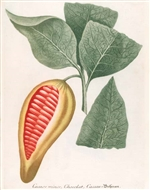 Rare Book Print Chocolate 2, Theobroma species, with print script Cacaos minor, Chocolat, Caccau. (Size: 13 x 19)