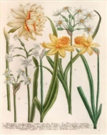 Rare Book Print, Six Daffodils, Narcissus Species. (Size: 13 x 19)