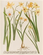Rare Book Print, Three Daffodils, Narcissus Species. (Size: 13 x 19)