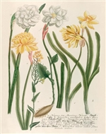 Rare Book Print, Daffodils and Napus, Narcissus Species and Napus Seu Bunias Navet. (Size: 13 x 19)