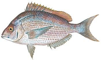 Image gallery atlantic porgy for Porgy fish recipe
