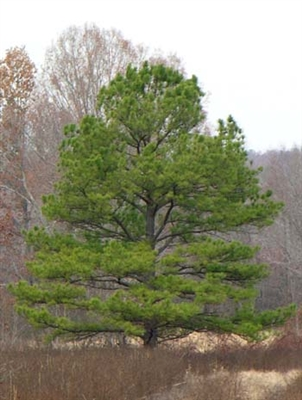 Loblolly Pine - 2nd Generation