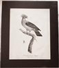 Rare Antique Pauline de Courcelles (Knip) 1805 Large Colombe Double Huppe Print