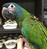 Blue Headed Macaw