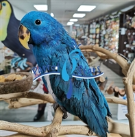 Blue Solomon Island Eclectus ( Male )