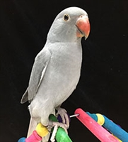 Indian Ringneck Parakeet - Grey ( Female )