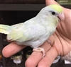 Parrotlet - American Turquoise - Female