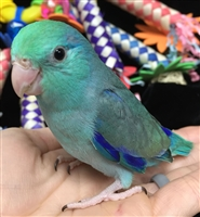 Parrotlet - Turquoise - Male