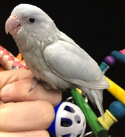 Parrotlet - American White - Female