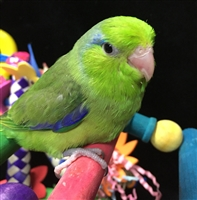 Parrotlet - Green - Male