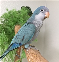 Quaker Parrot - Blue ( Black Dot )