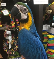Blue and Gold Macaw - Female