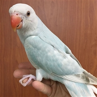 Indian Ringneck Parakeet - Lace Wing ( Female )
