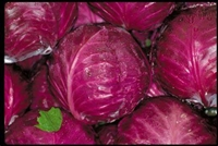 Purple Cabbage Single Head