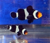ORA Black Clownfish Pair