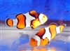 ORA Percula Clownfish Pair
