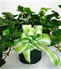 Green Plant, Assorted St. Cloud Hospital, St Cloud Hospital Gift Shop