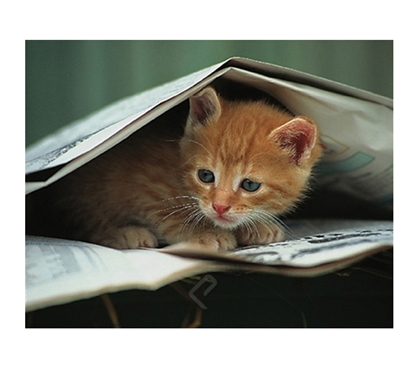 Cute Kitten Under Newspaper Poster