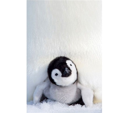 Cuddly Penguin Chick Poster