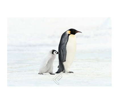 Marching Penguin and Baby Art Poster