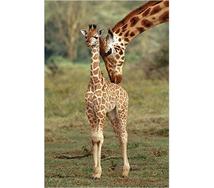 Cute Wall Decor - Giraffe And Baby Poster - Great College Decoration