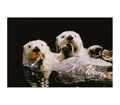 Sea Otters Relazing in Water Poster