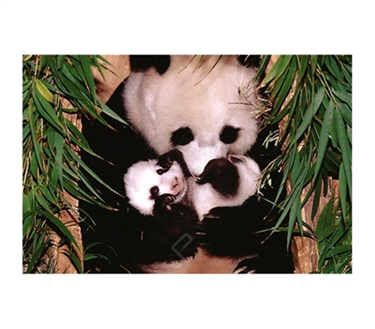 Panda Mother and Baby Poster cute college dorm decorating poster mother panda with baby