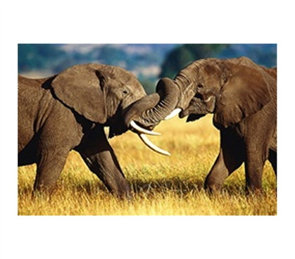 African Elephants Sparring Poster African-inspired 2 elephants intertwining trunks in college dorm room poster