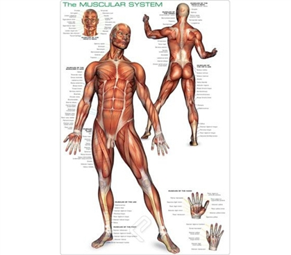 Muscular System Poster - Human Anatomy Wall Poster