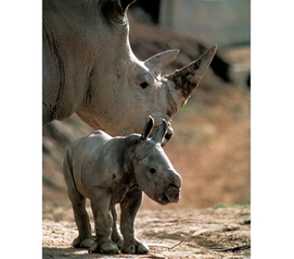 Beatiful Wildlife Art - White Rhinoceros (With Baby) Animal Poster