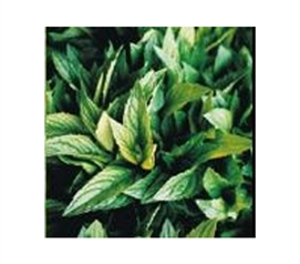 College Essential - Dorm Room Fragrance - Garden Mint - Fresh Scent For Dorms
