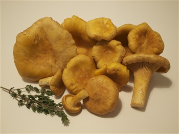 Golden Chanterelles (Oregon) - Cantharellus Formosus